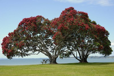 Pohutukawa Trees at Cornwallis Beach